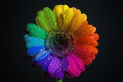 Water drops on rainbow-colored gerbera flower isolated on black background