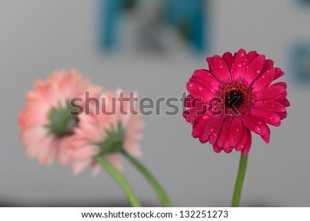 Water drops on red gerbera flower