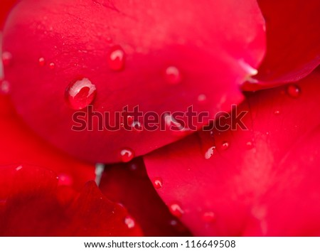 water drops on red rose petals