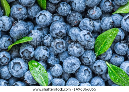 Water drops on ripe sweet blueberry. Fresh blueberries background with copy space for your text. Vegan and vegetarian concept. Macro texture of blueberry berries.Texture blueberry berries close up