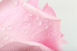 Water drops on rose petals, close-up