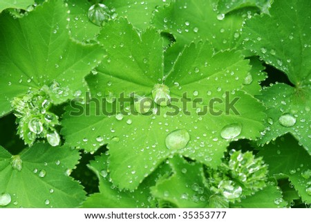 Water drops on the leafs of a Lady's mantle