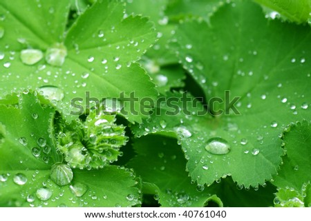 Water drops on the leafs of a Lady's mantle - stock photo