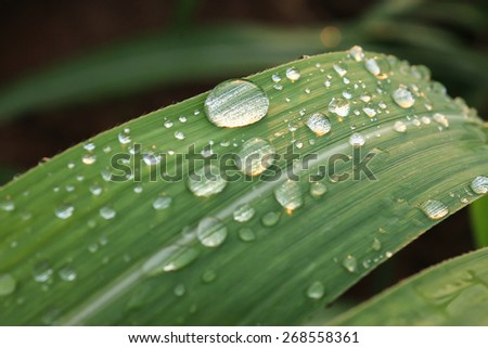 Water drops on the sugar cane leaf