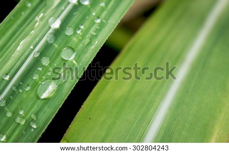 Water drops on the sugar cane leaf with selective focus