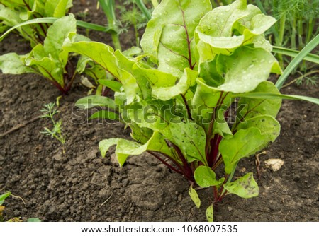 Water drops on young beet leaves, vegetable garden, soil