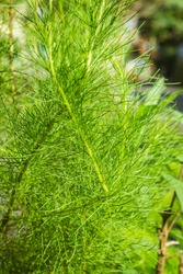water fir plants in the garden of the house, green leaves background
