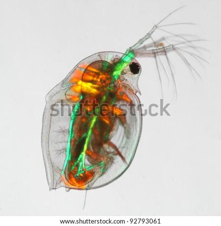 water flea daphnia pulex muscles in polarized light - stock photo