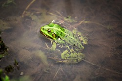 Water frog or green frog also known as the edible frog. Frog in the water close up macro.