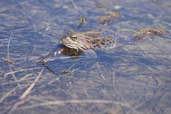 Water frog Pelophylax and Bufo Bufo in mountain lake with beautiful reflection of eyes Spring Mating