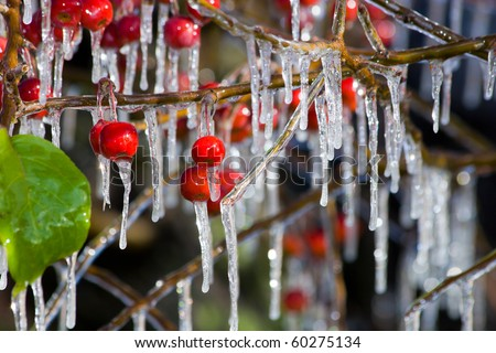 Water has frozen on a branch of an apple-tree and has turned to icicles. The first autumn frosts
