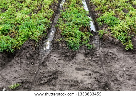 Water in the middle of flooded agriculture crops. Potato Crop Damage. #1333833455