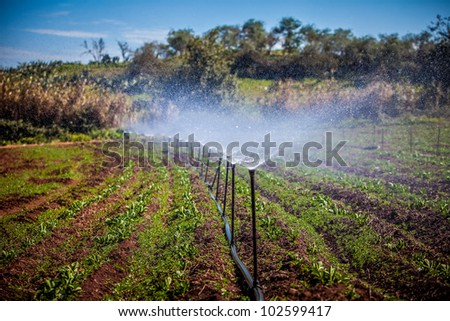 water irrigation of potato field on sunny day