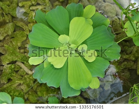 Water Lettuce aquatic plant #1335176501
