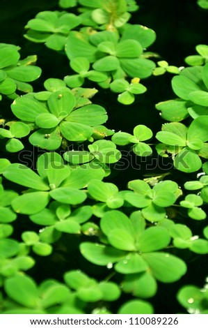 Water lettuce plant  (or Pistia stratiotes) - stock photo