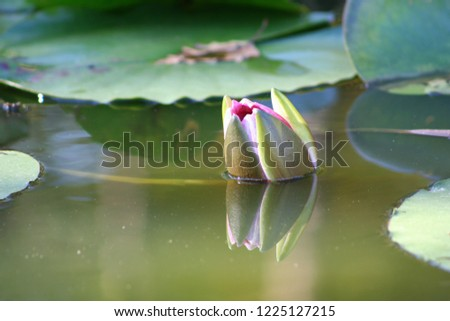 Water lilies in a pond. Flowers and leaves of aquatic plants. #1225127215