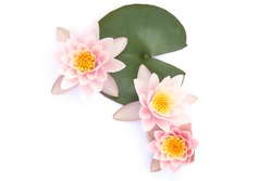 Water lilies with a leaves isolated on white background. Lotus flowers blooming, top view.