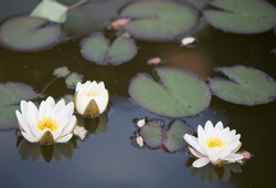 water lillies blooming in a pond in spring time