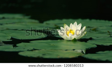 water lilly closeup