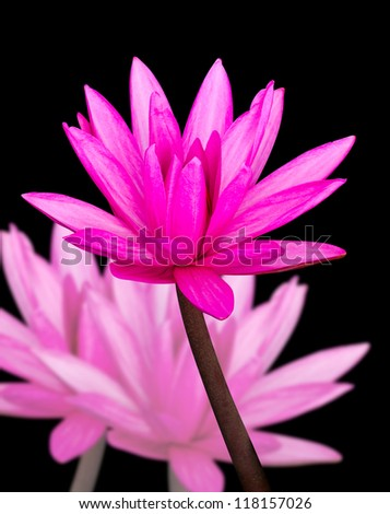 Water lilly cutout on solid background working path included.