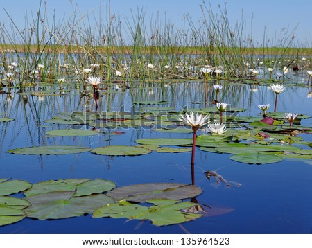 water lilly in Okavango delta,Botswana