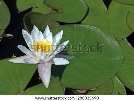 stock-photo-water-lilly-with-lilly-pads-288035690.jpg