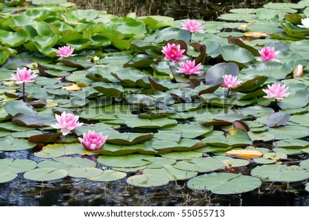 stock-photo-water-lily-55055713.jpg