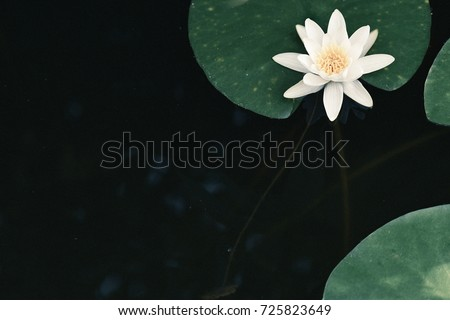 water lily against a dark background in the water