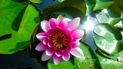 Water lily.Background with water lilies.Bright water lilies.