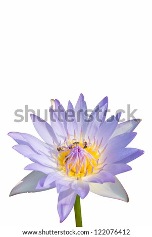 water lily flower (lotus) and white background