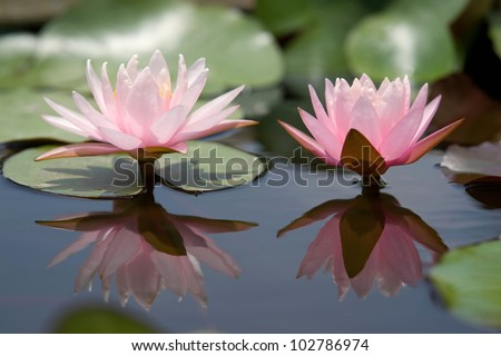 Water Lily Flower or lotus flower