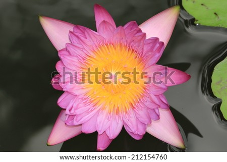 Water Lily flower,purple and yellow Water Lily flower in bloom