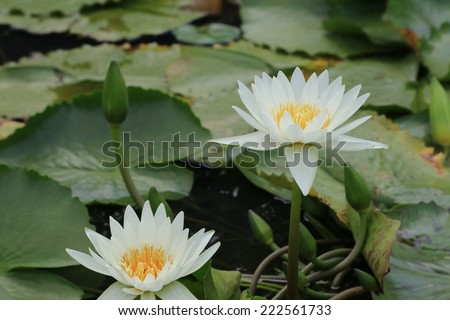 Water Lily flowers and buds,white Water Lily flowers and buds in the pond