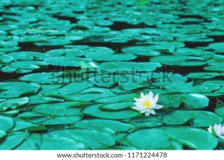 Water lily flowers blossoms or white lotus blooming on pond. Beautiful white flower with green leaf on lake surface. Waterlilies floating on a river landscape.