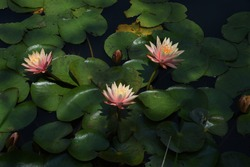 Water lily flowers in the botanical garden.