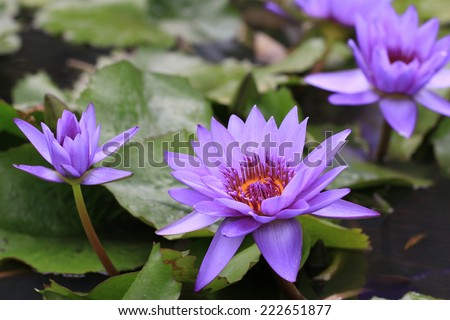 Water Lily flowers with raindrop,closeup of purple Water Lily flowers with raindrop in the pond