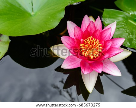 water lily from top