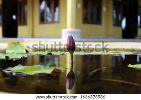 Water lily in a tub at golden pogoda of Arunachal Pradesh Zdjęcia stock ©