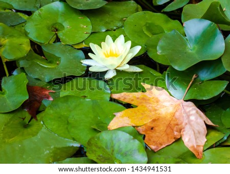 Water-lily in an environment of leaves #1434941531