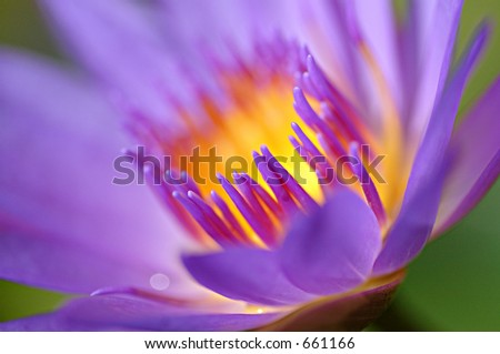 water lily in close up - stock photo