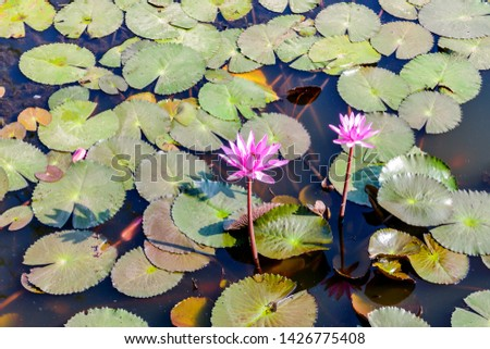 water lily in pond, beautiful photo digital picture