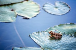 Water lily in the lake and frog