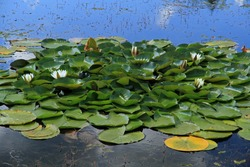 Water lily in the pond - Backwaters of the Jasiolka river in Jasiel - former and abandoned village in Low Beskids, Poland