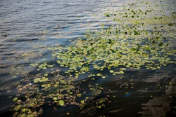Water lily leaf. Dnipro, Ukraine