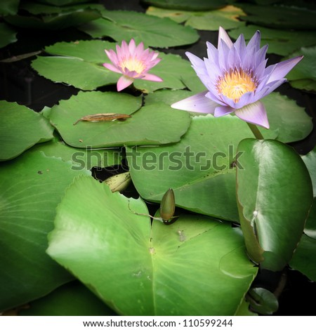 water lily lotus and leaves