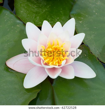 Water lily (Nymphaea alba) in the pond