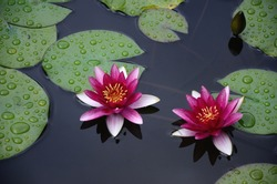 Water lily of Heian Jingu Shrine in Kyoto.