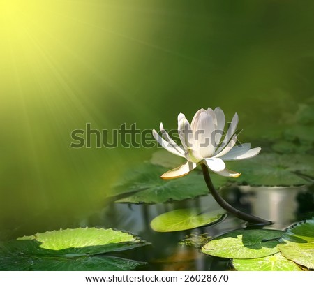 water lily on a green background