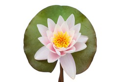 Water lily on a leaf isolated on white background, Lotus flower blooming, top view.