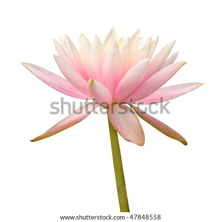 Water Lily on white